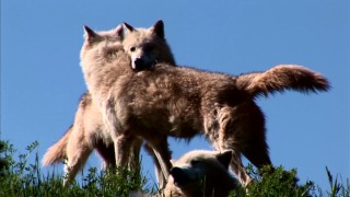 "A couple of real wolves cuddle in the featurette ""Wolves in the Wild."""