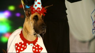 "This drooling Great Dane's dog show catwalk saliva numbers among the ""Bloopers Faux Paws."""