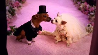 "Papi and Chloe open ""Beverly Hills Chihuahua 2"" entering into the bonds of holy matrimony."