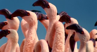 "Flamingos look sexy for potential mates in Disneynature's ""The Crimson Wing."""