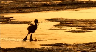 A young flamingo chick does sunset struggle with the salt shackles that have formed around his or her ankles.