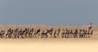 One grown pink flamingo shuffles a whole bunch of young gray ones across the African desert on the group migration journey.