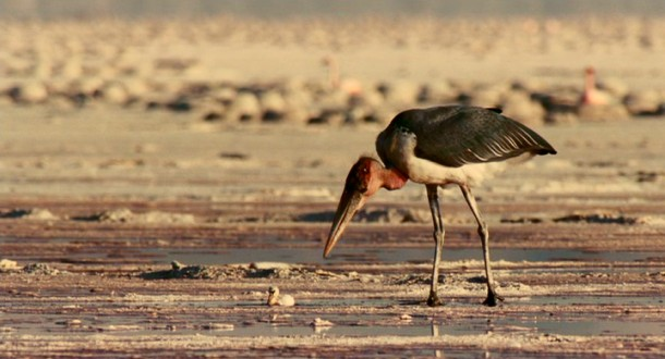 The Marabou Stork will not win many fans with his diabolical treatment of baby flamingos in a flamingo movie.