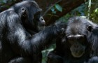 Chimpanzee Blu-ray + DVD Review