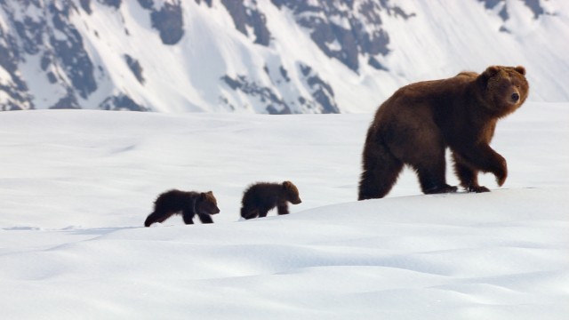 "In Disneynature's ""Bears"", a mother and her two young cubs go on a long journey in search of food."