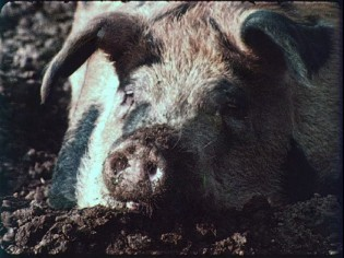 "Despite the exclamation mark, ""Pigs!"" don't make for the most interesting subject in Carroll Ballard's 1965 short."