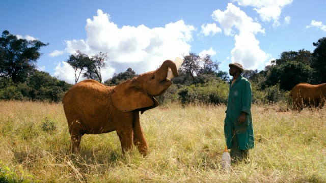 An orphaned elephant enjoys a bottle of milk formula in the presence of a keeper.