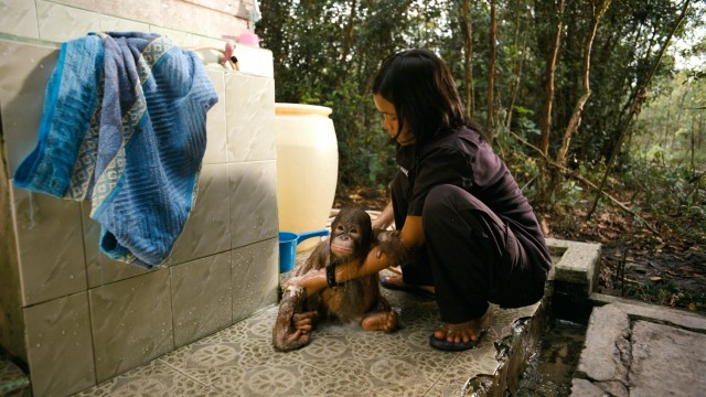 At Dr. Galdikas' Borneo sanctuary, an adorable baby orangutan gets a bath.