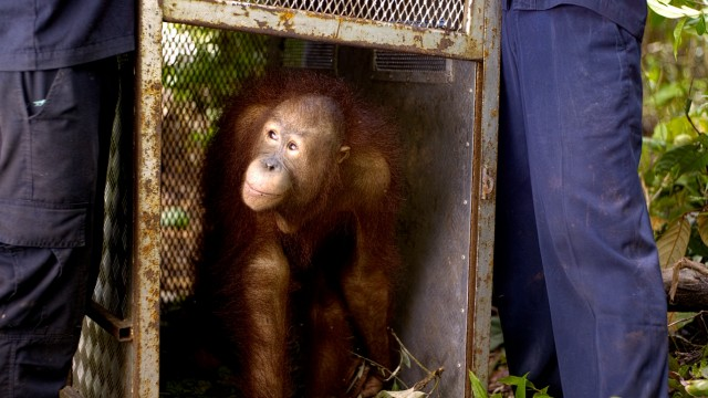 Per the plan, a fully-raised orphan orangutan is released back into the wild.