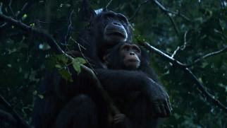 Chimpanzees are apparently not all that crazy about the rain.