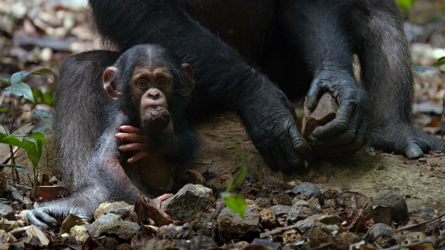 Awww....look at the itty-bitty chimpanzee baby.