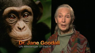 One simply does not make a documentary about chimps without getting UN Messenger of Peace Dr. Jane Goodall to endorse it.