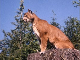 Charlie, the Lonesome Cougar enjoys the views offered by the Pacific Northwest.