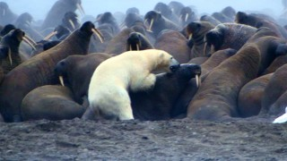 "A hungry polar bear tries to avoid walrus tusks in an effort to quench his appetite in ""Earth."""