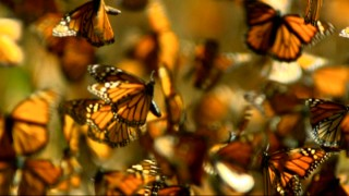 "Orange and black butterflies take to the skies in the environmentally minded conclusion to Disneynature's ""Migration."""