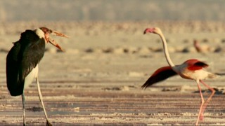 "A Marabou stork sizes up this flamingo and many more near the end of ""Predator and Prey."""