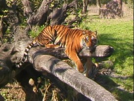 I read online that if you listen closely, this Animal Kingdom tiger tells teenagers to strip.