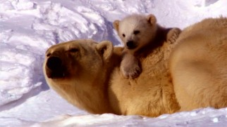 "A polar bear mother and son are the first of three families whose journeys Disneynature's ""Earth"" documents."