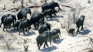 A herd of elephants moves steadily across Africa's Kalahari Desert toward their delta destination.