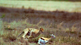 Speedy cheetah chases young gazelle at 1,000 frames per second. It's like the circle of life in super slow motion.