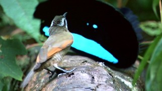 That wide black and turquoise content face is actually a New Guinea bird of paradise putting on a show for an apparently bothered guest.