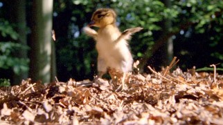 This mandarin baby duck makes a clean landing on his first flight (fall with style) from a tall forest tree.