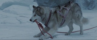 Maya is one of the most resourceful of the eight sled dogs.