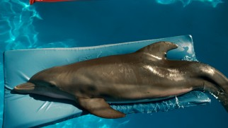 Winter the dolphin takes a moment to chill atop a floating gym mat.