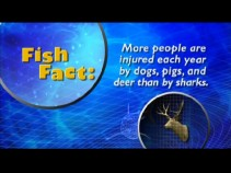 A Fish Fact puts shark danger into perspective.