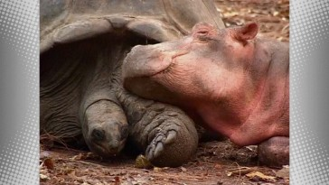 "The 130-year-old tortoise Mzee and baby hippopotamus Owen of Kenya's Haller Park exemplify the kind of ""Unlikely Friends"" the new HD nature featurette explores."