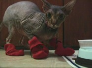 This hairless Sphynx tries out Charlie's Kitten Mittens idea as part of continuous loop of mittened cat video.