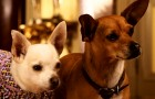 Beverly Hills Chihuahua 2 Blu-ray + DVD Review
