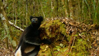 This Indri lemur makes a guilty look as five facts about his kind are shared.