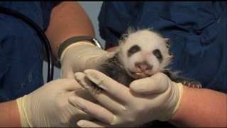 Awww! Look at the cute little baby panda!