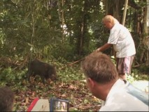 A native trainer tries to yank a boar into action, but the boar has other ideas at the mo'.