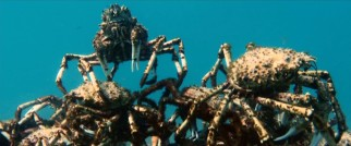 A countless number spider crabs do battle at the bottom of the deep blue (turquoise?) sea, sea, sea.