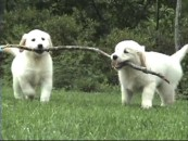 Marley (not to be confused with the film Marley) and Daisy demonstrate their branch-carrying talent for Purina Dog Chow.