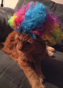 "Miss Tabitha Cat models the Afro Circus Rainbow Wig included with DreamWorks' ""Madagascar 3"" Blu-ray + DVD combo pack."