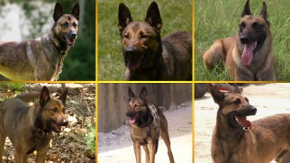 "The six dogs who played Max are recognized in ""Working with Max."""