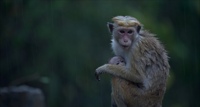 "Maya the macaque tries to keep her son Kip warm during monsoon season in Disneynature's ""Monkey Kingdom."""