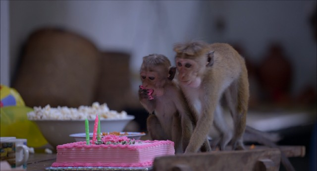 Just another day in the wilds of Sri Lanka as monkeys discover pink birthday cake.