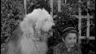 Tommy Kirk probably got the day off on scenes involving his canine self. Here, Wilby/Chiffon pants in the bushes with Moochie (Kevin Corcoran).