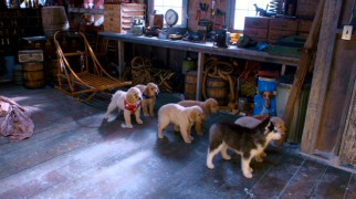 Shasta and the Buddies get in their dogsled positions for the off-screen trainer.
