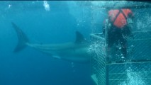 "A shark is filmed from the safety of a cage in ""Shooting with Sharks."""