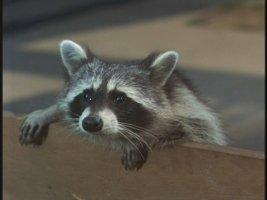 Aww, and you doubted raccoons could be adorable.