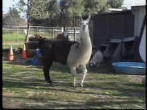 "A real llama appears in the brief featurette ""The Research Trip."""