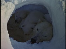 "Mother and children polar bears snuggle in a peaceful hibernation seen in ""White Wilderness."""