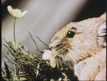 A pika, the cousin of the rabbit, has no relation to a furry yellow cartoon character that shoots electricity from its cheeks.