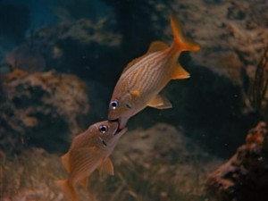 "Yes, these fish are actually kissing in ""Mysteries of the Deep."""