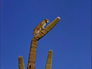 "A mountain lion looks for an escape up a not-too-sturdy cactus in ""The Living Desert."""